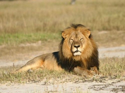 Cecil-the-lion-ap-640x480
