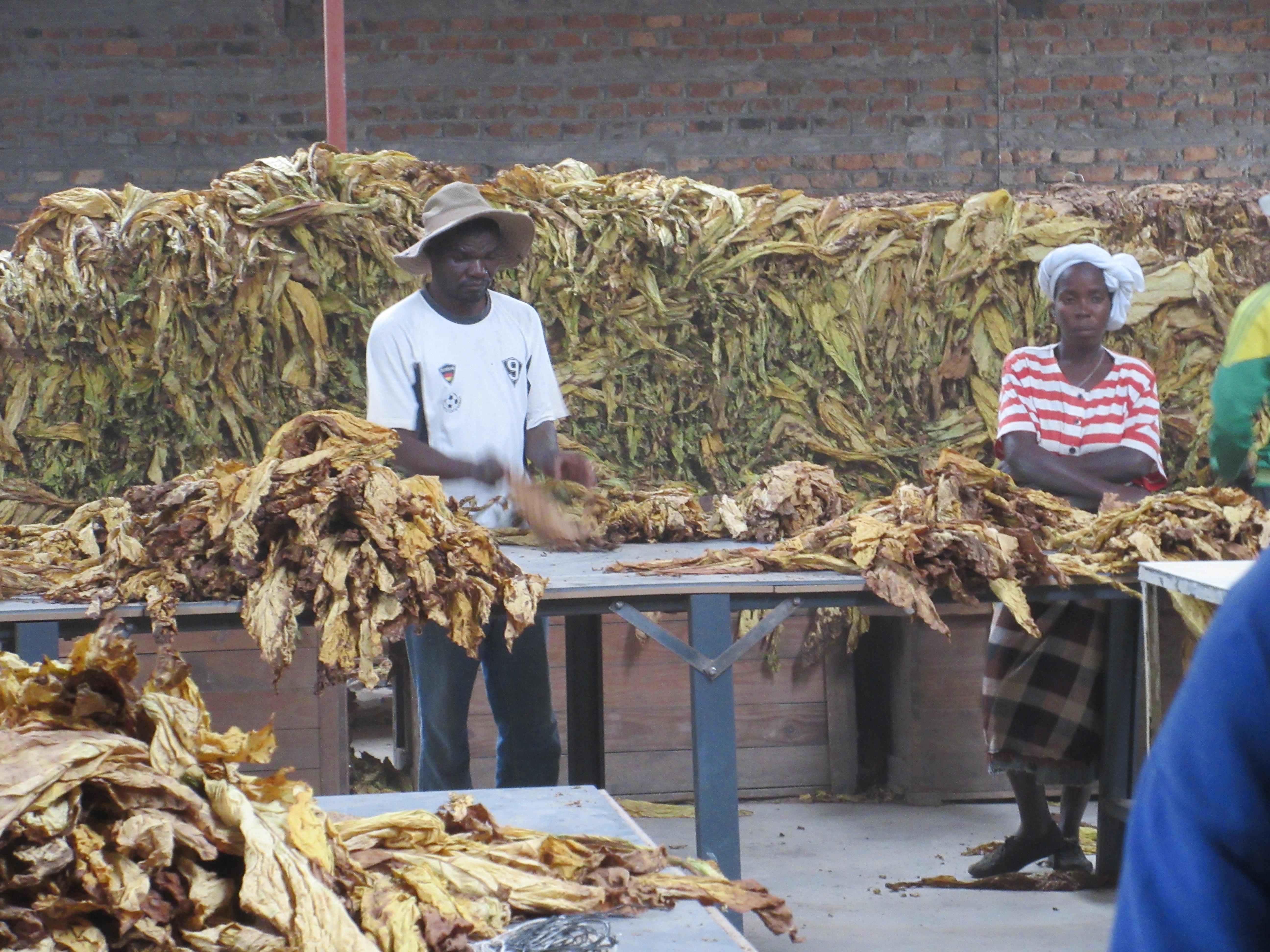 tobacco | zimbabweland
